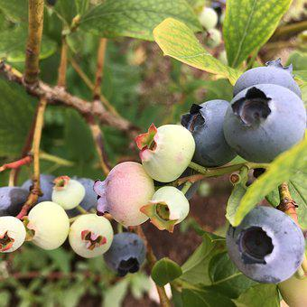 Blueberry, Nature, Fruit, Fresh, Summer, Vitamin, Sweet