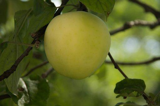 Apple, Tree, Fruit, Summer, Greens, Fresh, Harvest