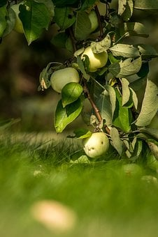Apple, Apples, Fruit, Tree, Garden, Nature, Sad, Summer