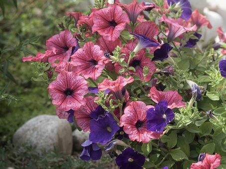Petunias, Flowers, Plant, Garden, Plants, Nature, Flora