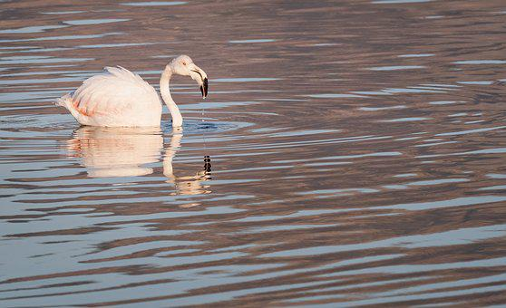 Greater Flamingo, Flamingo, Swan, Bird, Water, Lake