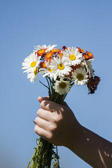 Flower, Hand, Fist, Pick, Wildflowers, Daisy, Daisies