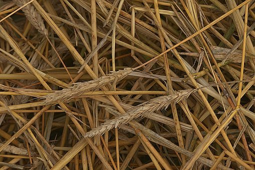 Straws, Spike, Threshed, Harvested, Cornfield, Wheat
