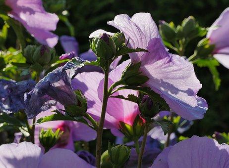 Summer, Hibiscus Flowers, Bud, Backlighting, Blue, Bleu