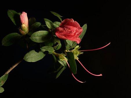 Pink Flower, Leaves, Flower, Plant, Flora, Nature