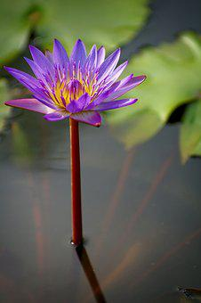 Water Lilies, Flowers, Lotus, Nature, Beautiful