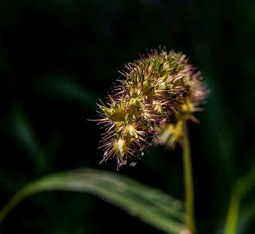 Grass Seeds, Wild Grain, Grass, Close Up, Nature