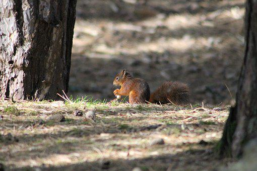 Red, Squirrel, Nature, Formby, Reserve, Wildlife, Uk