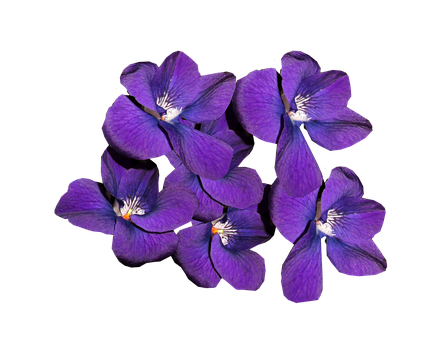 Violets, Flowers, Winter Blooms, Perfume, Nature