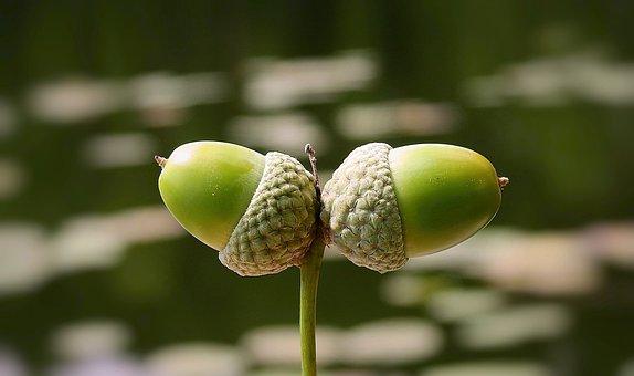Acorns, Nature, Oak, Water