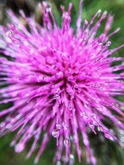 Pink, Flower, Petal, Thistle, Purple, Bright, Colour
