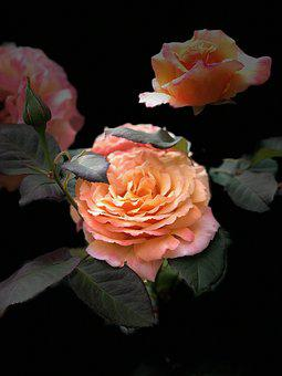 Rose, Flower, Pink, Bloom, Blossom, Nature, Romantic