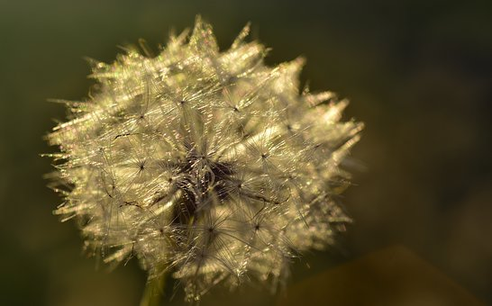 Dandelion, Seeds, Nature, Flower, Close Up, Plant