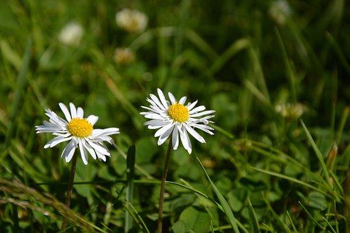 Meadow, Daisy, Flowers, Pointed Flower, Wild Flower