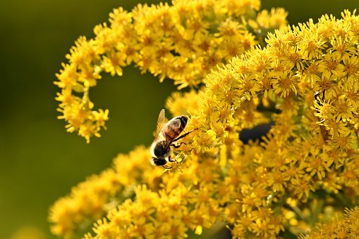 Bee, Insect, Nectar, Feeding, Pollen, Pollination