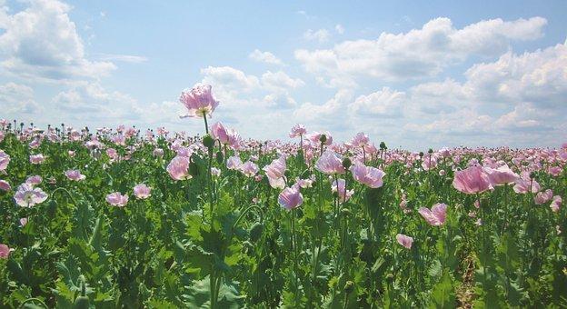 Poppy, Field, Nature, Poppies, Flower, Summer, Blossom