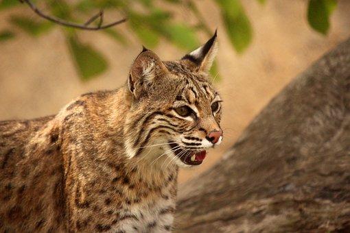 Big Cat, Animal, Predator, Zoo, Wildcat, Fur