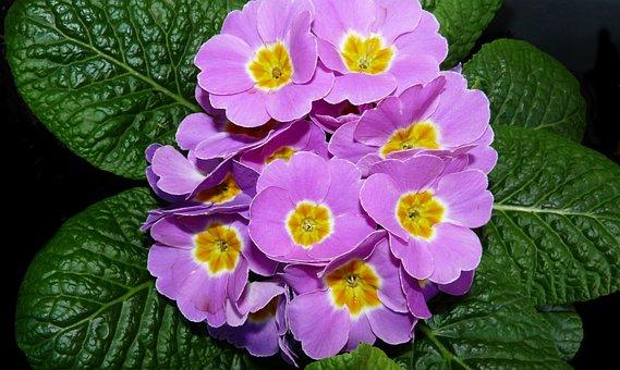 Primrose, Pink, Flower, Plant, Garden
