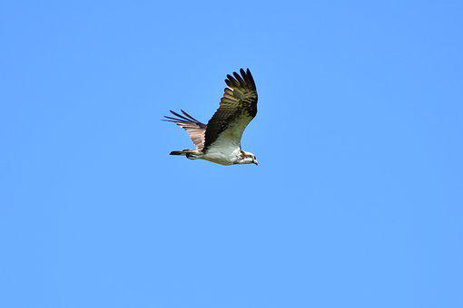 Animal, Sky, Bird, Wild Birds, Raptor, Osprey, Feathers