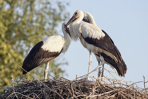 Storks, Stork, Rattle Stork, Animal World, Nature