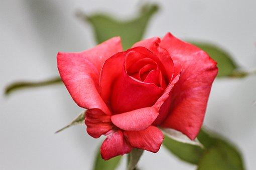 Rose, Pink, Red, Rose Bloom, Romance, Bloom, Summer