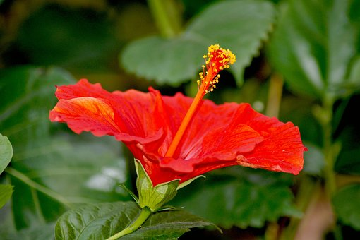 Hibiscus, Rosa Sinensis, Red Hibiscus, Flower, Red