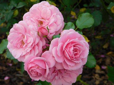 Rosa, Flower, Nature, Flowers, Bloom, Romantica, Rose