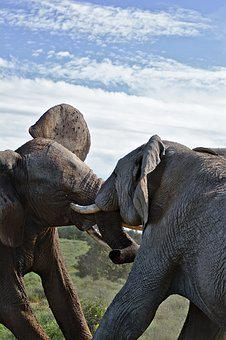 Elephant, Fighting, South Africa, Safari, Animal, Wild