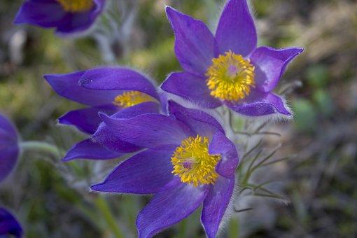 Flowers, Cross Spring, Sleep-grass, Flower, Spring