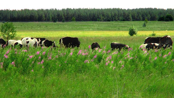 Field, Meadow, Cow, Pasture, Nature, Summer, Grass