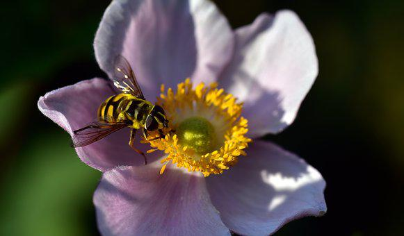 Hoverfly, Anemone, Summer, Nature, Pollen, Close Up