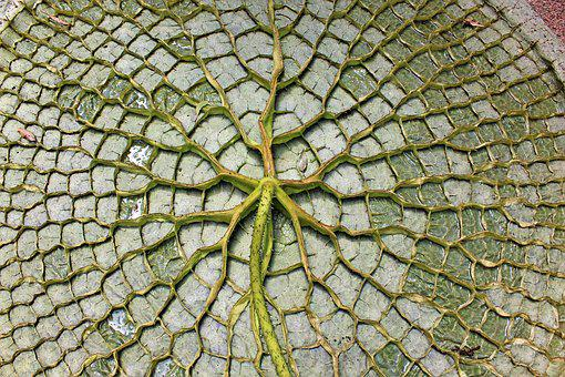 Giant Water Lily Leaf, The Underside Of The Leaf