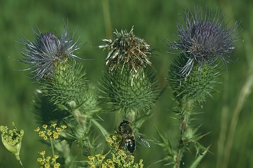 Thistle, Fly, Inflorescence, Close Up, Nature, Plant