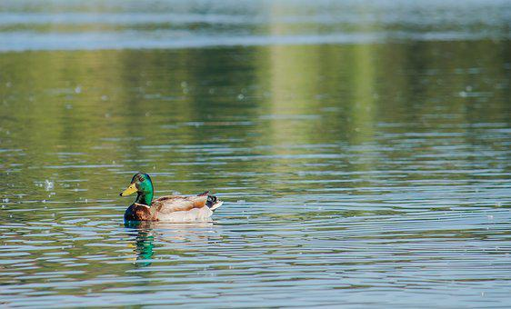 Laguna, Duck, Animal, Water, Nature, Park, Lake
