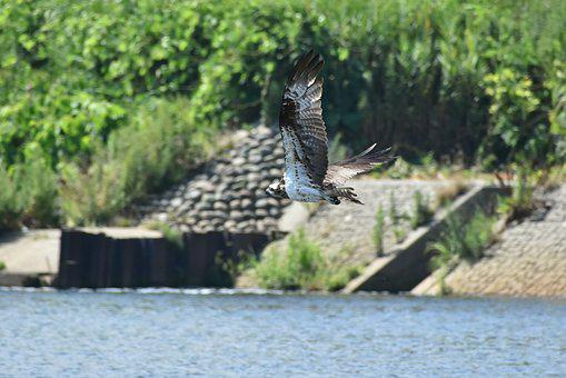 Animal, River, Waterside, Bird, Wild Birds, Raptor