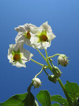 Flowers Of Potato, White Flowers, Celo, Light, Plant