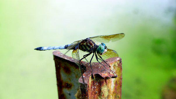 Dragonfly, Insect, Green, Blue, Animals, Wings, Wild