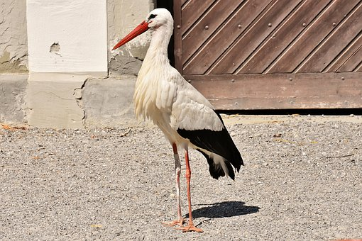 Stork, Wing, Birds, Plumage, Nature, Animals