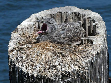 Seagull, Baby, Chick, Yawn, Gull, Bird, Nest, Young