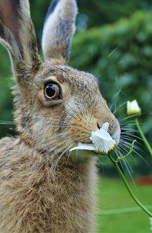 European Brown Hare, Young Hare, France, Flower