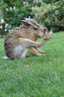 European Brown Hare, Young Hare, France, Hare Feet