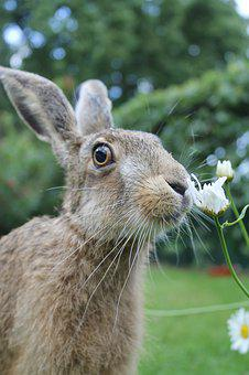 European Brown Hare, Young Hare, France