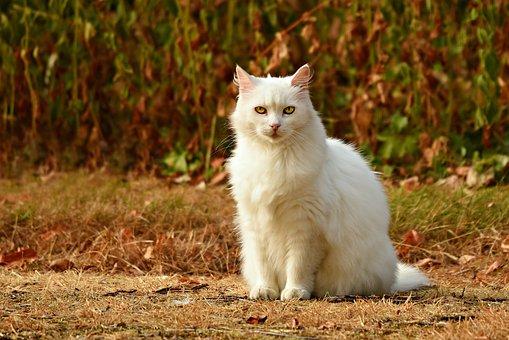 Cat, White, Animal, Mammal, Feline, Sitting, Looking