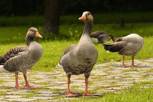 Geese, Wild Geese, Waterfowl, Group, Goose-char, Bird