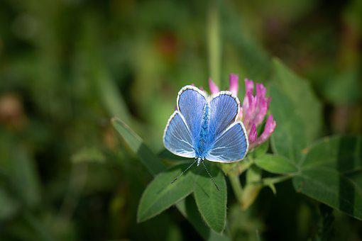 Common Blue, Butterfly, Blue, Small Butterfly, Nature