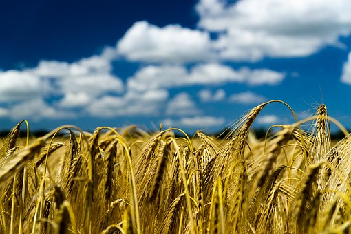 Cereals, Summer, Field, Agriculture, Nature, Harvest