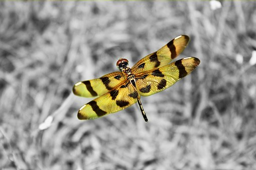 Dragonfly, Macro, Nature, Insects, Colorful