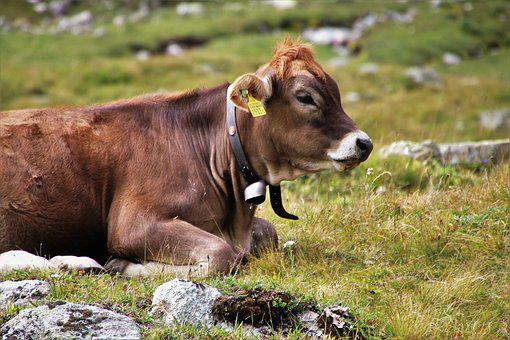Cow, Cattle, Animals, Beef, Meadow, Alpine, Brown