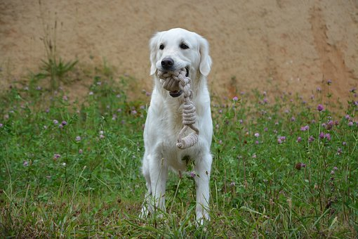 Dog, Dog With Game, Dog Golden Retriever