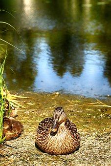 Duck, Animal, Bird, Nature